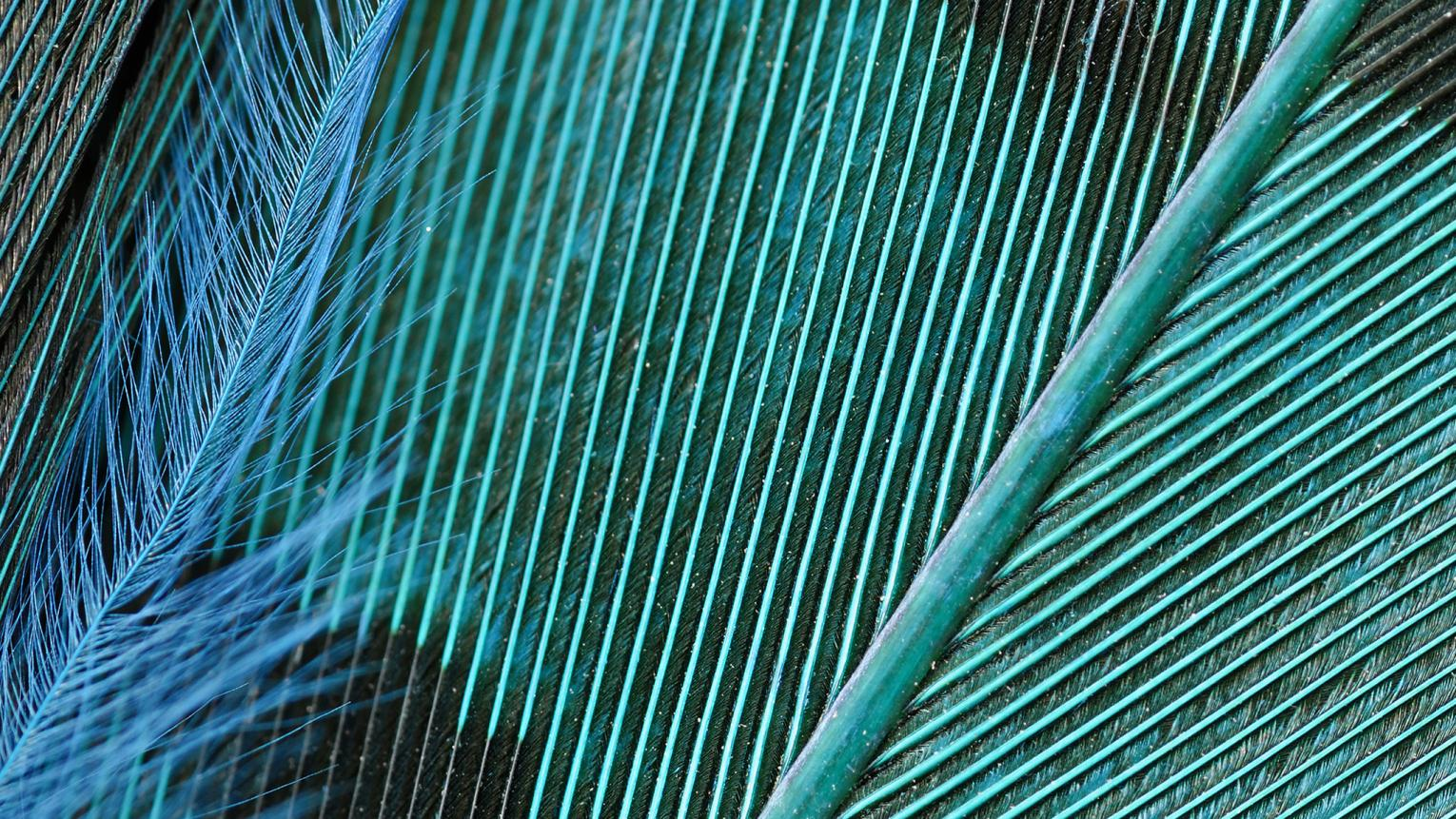 Close-up of a striking teal bird's feather.